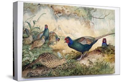 Japanese Pheasants, 1865-Joseph Wolf-Stretched Canvas Print