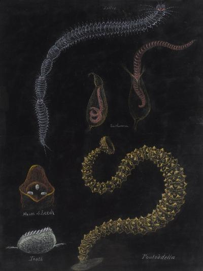 Annelid Worms-Philip Henry Gosse-Giclee Print