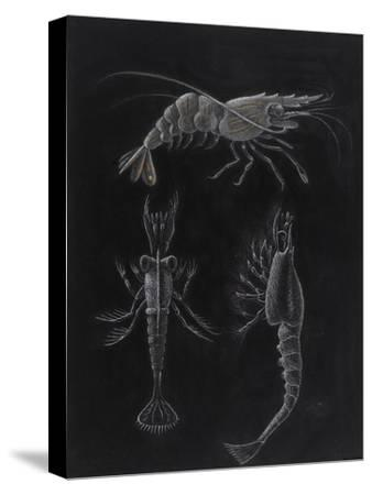 Crustacea-Philip Henry Gosse-Stretched Canvas Print