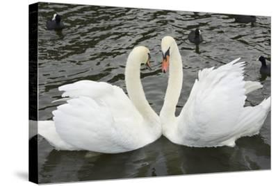 Mute Swans Courting-Georgette Douwma-Stretched Canvas Print