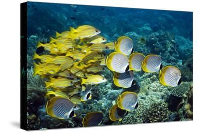 Butterflyfish And Snappers-Georgette Douwma-Stretched Canvas Print