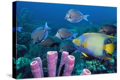 Queen Angelfish And Blue Tangs-Georgette Douwma-Stretched Canvas Print