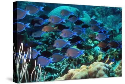 Blue Tang Shoal-Georgette Douwma-Stretched Canvas Print