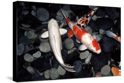 Koi Carp In a Pond-Georgette Douwma-Stretched Canvas Print