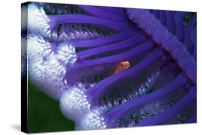Fish Hiding In a Sea Pen-Georgette Douwma-Stretched Canvas Print