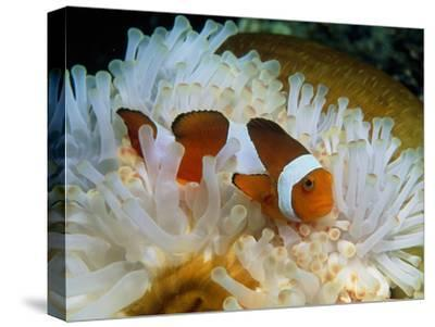 False Clown Anemone Fish-Georgette Douwma-Stretched Canvas Print