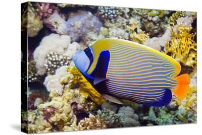 Emperor Angelfish-Georgette Douwma-Stretched Canvas Print