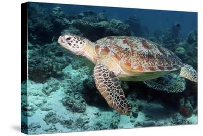 Green Turtle-Georgette Douwma-Stretched Canvas Print