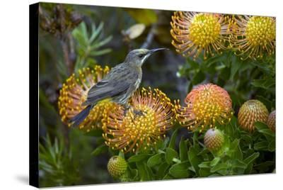 Cape Sugarbird on a Flower-Bob Gibbons-Stretched Canvas Print