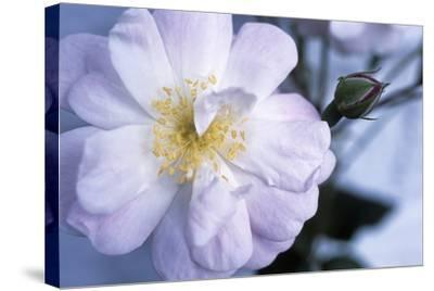 Rose 'Blush Noisette'-Maxine Adcock-Stretched Canvas Print