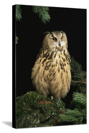 European Eagle Owl-David Aubrey-Stretched Canvas Print