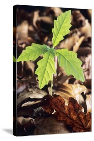 Oak Tree (Quercus Sp.) Seedling-David Aubrey-Stretched Canvas Print