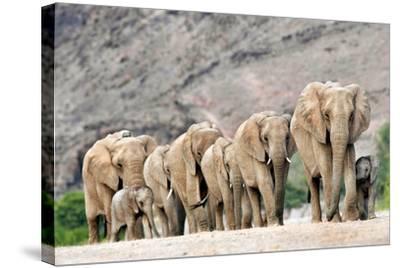Desert-adapted Elephants-Tony Camacho-Stretched Canvas Print