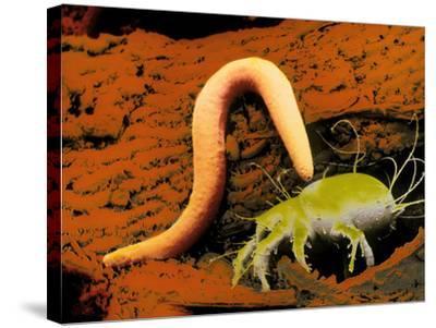False-colour SEM of a Nematode Worm & Acarus Siro-Dr. Jeremy Burgess-Stretched Canvas Print