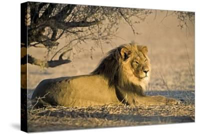African Lion Male-Tony Camacho-Stretched Canvas Print