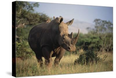 White Rhinoceros-Peter Chadwick-Stretched Canvas Print