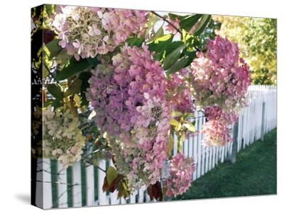 Hydrangea Garden Flowers-Tony Craddock-Stretched Canvas Print
