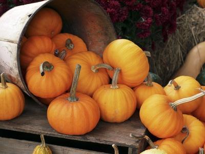 Harvested Pumpkins-Tony Craddock-Premium Photographic Print