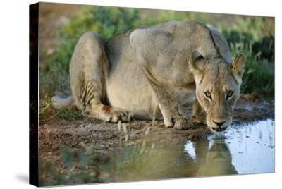 Lioness Drinking-Tony Camacho-Stretched Canvas Print