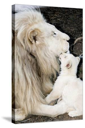 Male White Lion And Cub-Tony Camacho-Stretched Canvas Print