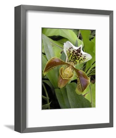 Lady's Slipper Orchid-Tony Craddock-Framed Premium Photographic Print