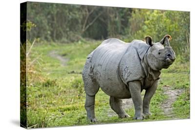 Indian Rhinoceros-Tony Camacho-Stretched Canvas Print