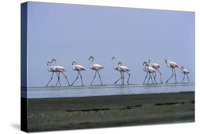 Greater Flamingos Wading-Tony Camacho-Stretched Canvas Print