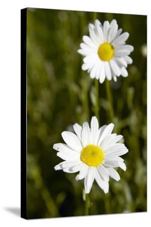 Ox-eye Daisy (Leucanthemum Vulgare)-Colin Cuthbert-Stretched Canvas Print