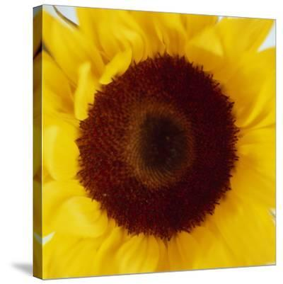 Sunflower (Helianthus Annuus)-Cristina-Stretched Canvas Print