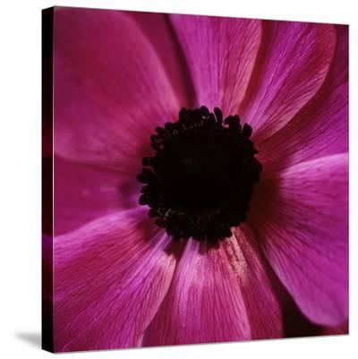 Anemone Flower (Anemone Sp.)-Cristina-Stretched Canvas Print