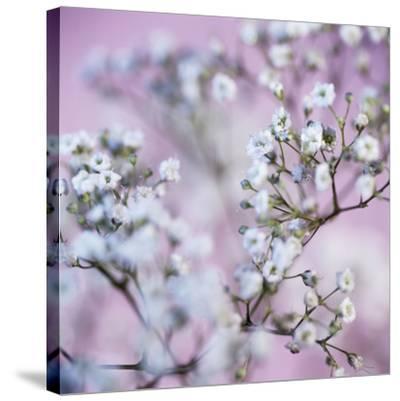 Gypsophila Flowers (Gypsophila Sp.)-Cristina-Stretched Canvas Print