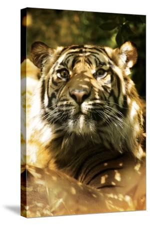 Siberian Tiger-Victor Habbick-Stretched Canvas Print