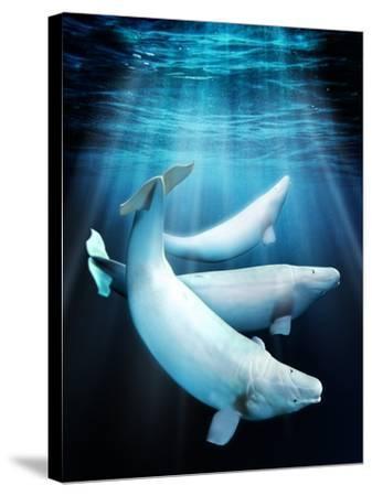 Beluga Whales, Artwork-Victor Habbick-Stretched Canvas Print