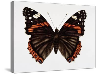 Red Admiral Butterfly-Lizzie Harper-Stretched Canvas Print