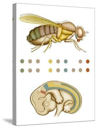 Fruit Fly And Fetus Genetic Similarities-Mikkel Juul-Stretched Canvas Print