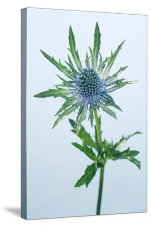 Sea Holly (Eryngium Sp.)-Lawrence Lawry-Stretched Canvas Print