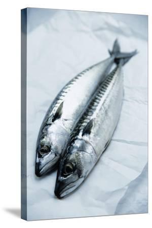 Mackerel-Veronique Leplat-Stretched Canvas Print
