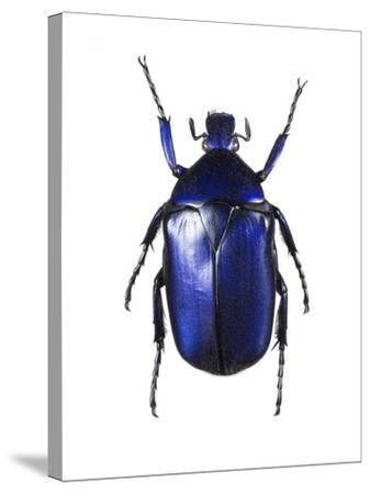 Torynorrhina Flower Beetle-Lawrence Lawry-Stretched Canvas Print