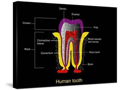 Human Tooth Anatomy, Diagram-Francis Leroy-Stretched Canvas Print