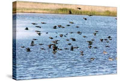 Flock of Red-winged Blackbirds-Bob Gibbons-Stretched Canvas Print