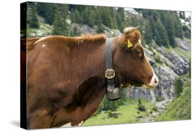 Cattle, Switzerland-Bob Gibbons-Stretched Canvas Print