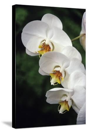 Orchid Flowers-Duncan Smith-Stretched Canvas Print