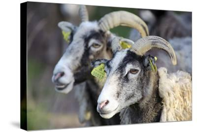 Sheep From Gotland, Sweden-Bjorn Svensson-Stretched Canvas Print