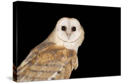 Barn Owl At Night--Stretched Canvas Print