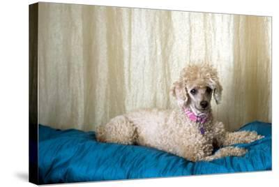 Miniature Poodle--Stretched Canvas Print
