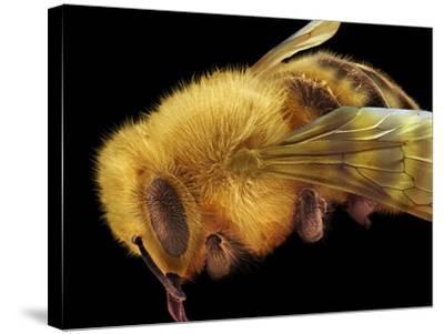 Honey Bee, SEM-David McCarthy-Stretched Canvas Print
