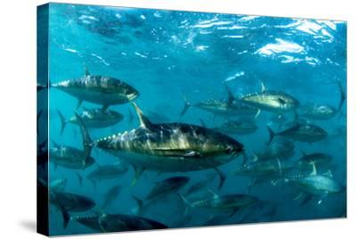 Yellowfin Tuna-Louise Murray-Stretched Canvas Print