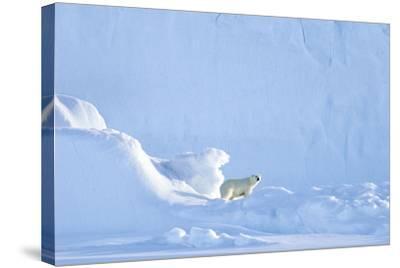 Polar Bear-Louise Murray-Stretched Canvas Print