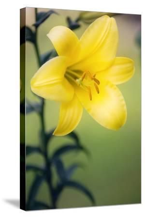 Orienpet Lily (Lilium Sp.)-Maria Mosolova-Stretched Canvas Print