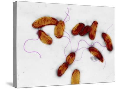 Cholera Bacteria, TEM-Dr. Gopal Murti-Stretched Canvas Print